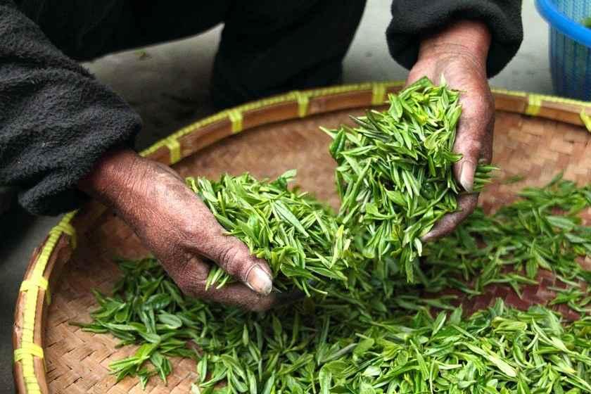 Сборка вручную зеленого чая